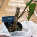 Daisoの観葉植物売り場で枯れかけていた木のその後