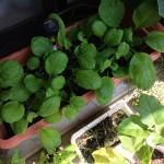 虫食いで苦労した小松菜の収穫